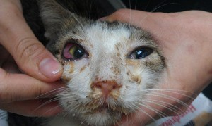 Typical appearance of a cat with signs of 'flu' (from http://www.catwelfare.org)