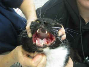 Gingivostomatitis affects the soft tissues of the gums and mouth (from felinevet.net)
